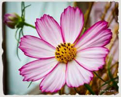 Cosmos by UncleTerry