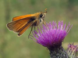 On a thistle by starykocur