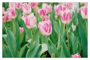 Tulip Festival_03 by freyiathelove