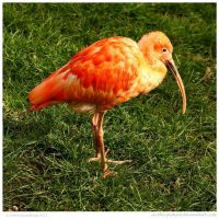 Scarlet Ibis by In-the-picture