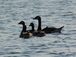 Swimming Geese by Musicalcupcake93