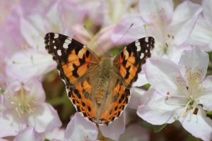 Painted Lady by Laur720