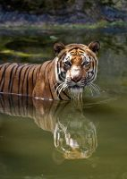 Tiger Water 3 by robbobert