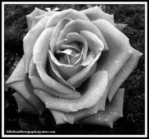 Dewy Rose in Black and White by JelloBean