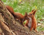 Courting squirrels I by starykocur