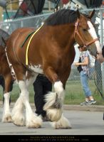 Clydesdale 1 by SalsolaStock