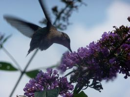 Ruby-throated Hummingbird by wax-wing