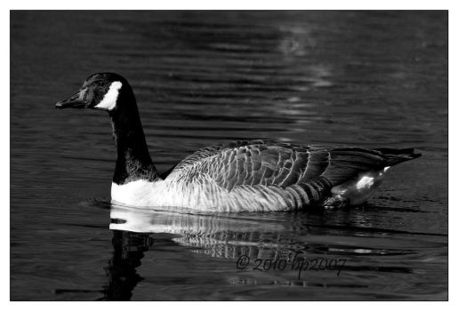 Goose in BnW by bp2007