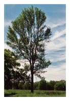 2014-173 Tree on a blue sky day by pearwood