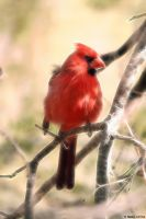 Cardinal by Beholdentolove