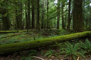 Oldgrowth Canadian Rainforest Stock 2 by leeorr-stock
