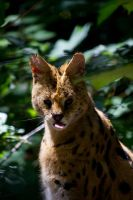 Cheeky Serval by DeviantTeddine