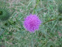 Thistle Flower by penceg
