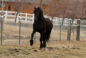 Friesian 004 by Notorious-Stock