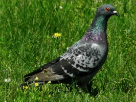 Pigeon at Fort Armistead by Matthew-Beziat