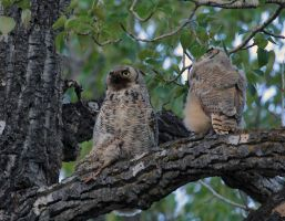 Great Horned Owlet feeding by sgt-slaughter