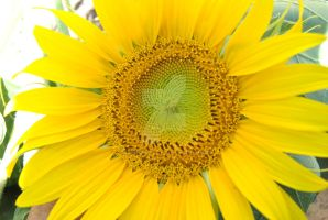 Sunflower by Danny421