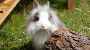 Mimzy the lionhead by SpirityTheDragon