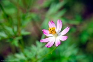 Cosmos caudatus flower by danzE26