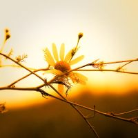 daisy in the sunset. by jacku157