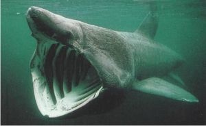 Basking Shark by zelda-lover