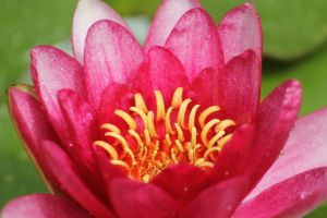 Hot Pink Water Lily by I-Heart-Photos