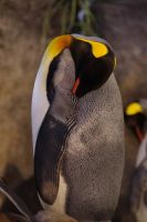 King Penguin 4 by yoricktlm