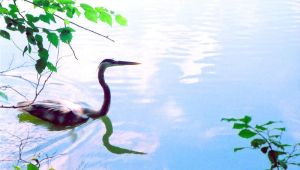 blue heron, blue water by Seraph6283