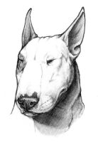 Bull Terrier Portrait by rgyoung