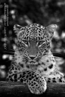 Panthera by guitarjohnny