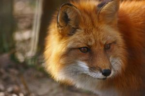 Red Fox 2 by lizrdlvr