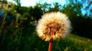 Dandelion In The Sunset by Arek-OGF