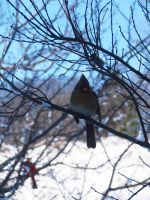 Female Cardinal by evelynrosalia