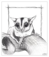 Sugarglider by Blattaphile