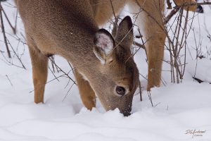 Doe in snow by DGAnder