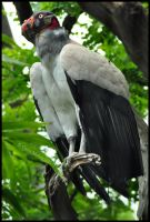 King Vulture by Somebody-Somewhere
