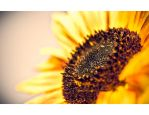 Sunflower by lebensmelodie