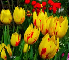 Spring yellow and red by apcz