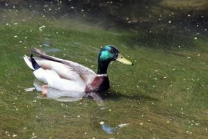 The Mallard in Papago Park by xplosivemind