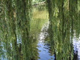 hanging willow by stock1-2-3