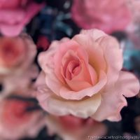 Pink roses 1 by FrancescaDelfino