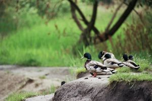 ducks 2 by remigiuszScout