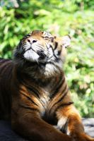 Sumatran tiger 4 by Sabbie89