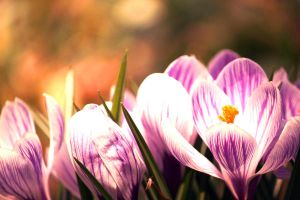 Crocuses by incolor16