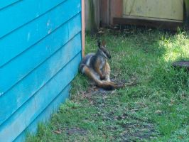 Chilling Wallaby by Crimsonpelt
