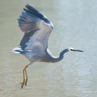 White faced Heron 03 by 88-Lawstock