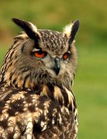 Eagle Owl Profile by Shadow-and-Flame-86