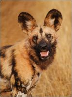 Wild Dog Portrait by TamarViewStudio