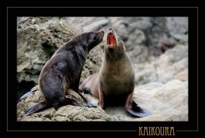 Kaikoura Seal 3 by 7scout7