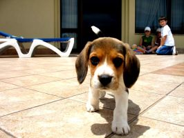 Beagle by NinaandBeagle